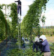 【あおもりフォト】012.高さ5.5メートル! 竹馬で収穫する農産物とは!?
